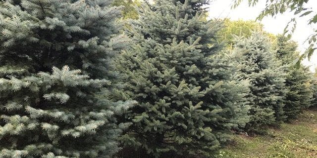 8-12' foot spruce only $350 delivered & installed
